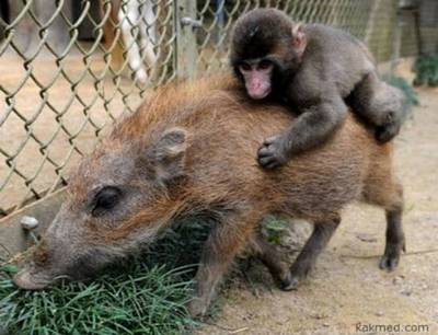 Любовь обезьяны картинки