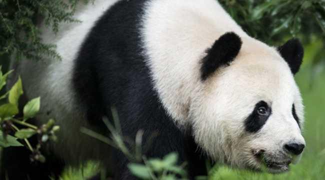 Хитрая панда прикинулась беременной